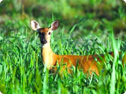 deerfence1